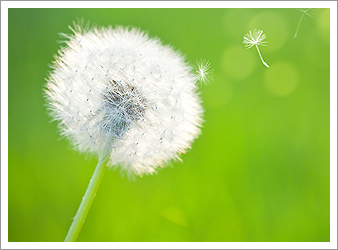 /media/pages/library/dandelion.jpg
